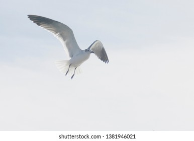 GALVESTON, TEXAS - NOVEMBER 21th, 2018: Beautiful Colony of Sea Gulls on the San Luis Pass, flying towards Galveston from Houston following Galveston bolivar ferry.