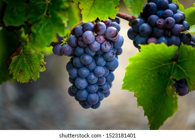 Gamay grapes on vines with lush green leaves