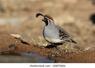 Gambels quail, Callipepla gambelii, male, Arizona, USA, winter