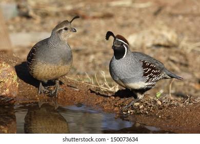 Gambels quail, Callipepla gambelii, male and female, Arizona, USA, winter