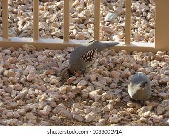 Gambel's quail (Callipepla gambelii) searching for seeds in the rocks and dirt in Phoenix, Arizona