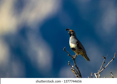 Gambel's Quail at dawn against contrasty light and dark sections of the Chiricahua Mountains of southeastern Arizona