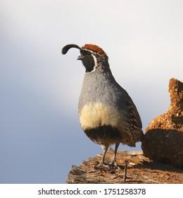 Gambel's Quail (male) (callipepla gambelii)
