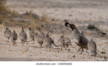 Gambel's Quail male with chicks. Joshua Tree National Park, Black Rock Campground Yucca Valley, California 6/29/18