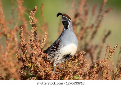 Gambel's Quail on a colorful red perch at the Gilbert Riparian Preserve in Arizona.
