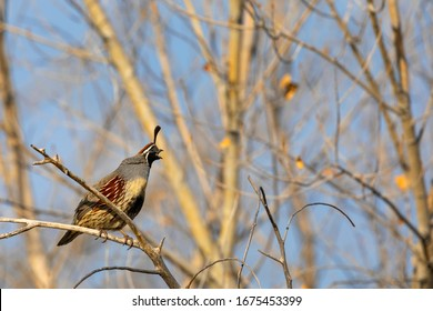 Gambel's Quail singing on a branch. Gambel's Quail from Bosque del Apache Wildlife Refuge. New Mexico.