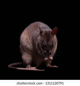 Gambian pouched rat, 3 years old, on black