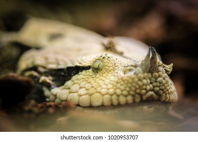 Gambian viper - most venomous snake on earth
