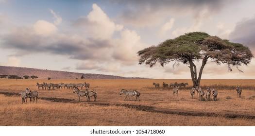 A game drive Safari with Zebra scene in Serengeti national park,Tanzania.