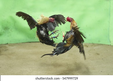 gamecock is a rooster with physical and behavioral traits suitable for cockfighting.The first use of the word gamecock,denoting use of the cock as to a game,a sport, hobby,or entertainment,was in 1646