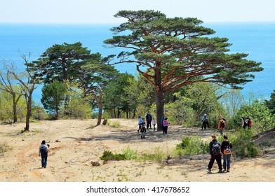 Gamova Peninsula, Russia, Primorye, 08,05,2016, People walking in the Bay of Telyakovsky near centuries-old pine trees