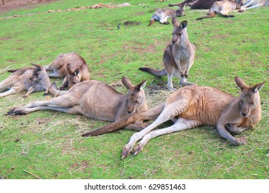 Gang of Kangaroos chilling on green grass background