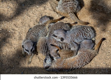 A gang of meerkats asleep in a pile or huddle with a pup near the on top