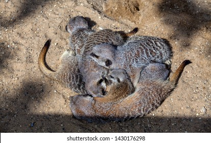 A gang of meerkats asleep in a pile or huddle with a pup in the middle.