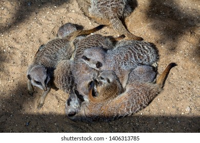 A gang (or mob) of meerkats asleep in a pile or huddle with a pup on top.