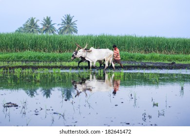 GANJAM, INDIA - CIRCA MAY 2009 - A young farmer plows his field with a pair of oxen in preparation for rice planting in Gangam, India circa May 2009.