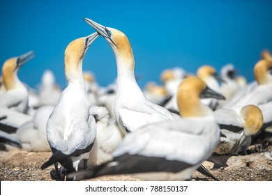 gannet birds colony, cape kidnappers, new zealand
