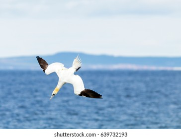 Gannet diving into Whiting Bay, Isle of Arran