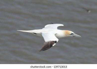 Gannet in flight against sea