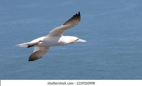 Gannet in flight at Bempton Cliffs