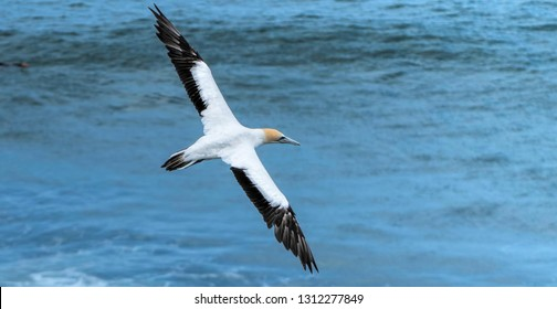 a gannet in flight with its wings fully out stretched - Muriwai gannet colony in NZ.