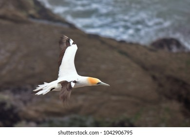 Gannet flying at the coast of Muriwai, north island, New Zealand