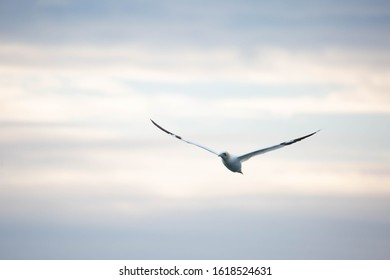 Gannet flying in the sunset off the coast of Grassholm island in Pembrokeshire, Wales.