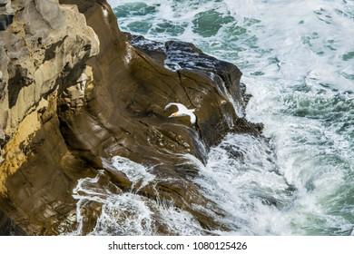 Gannet flys down wild coastline in front of rocky cliff face with breaking waves in gannet colony in New Zealand