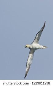 Gannet (Morus bassanus) adult in flight, off Bressay, Shetland, Scotland, UK.