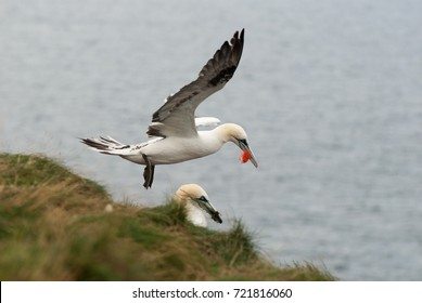 Gannet with nesting material (plastics)