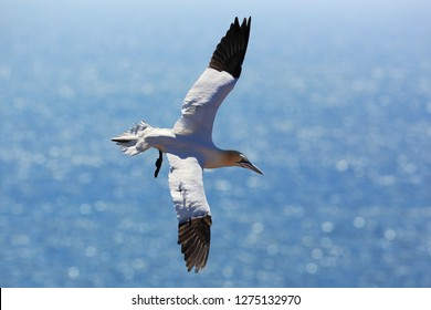 Gannet over the sea