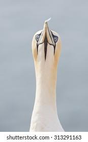 Gannet, (Pelecaniformes), with a feather.