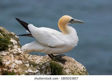 Gannet Resting on a Cliff Edge