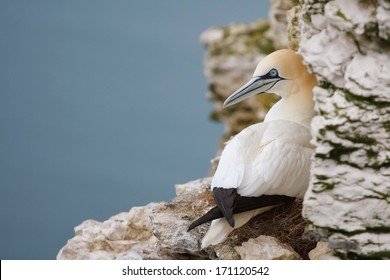 Gannet sitting on a nest on a cliff ledge