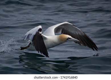 Gannet takes flight from ocean