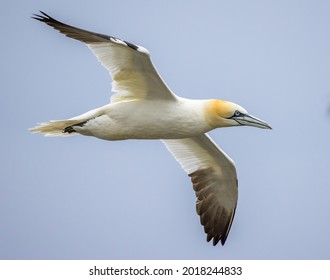 Gannets at Bempton Cliffs in the UK