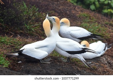 Gannets couple preening each other at Muriwai, New Zealand
