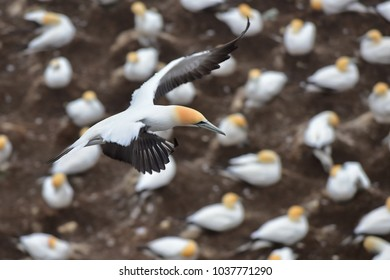 Gannets flying at the coast of Muriwai, north island, New Zealand