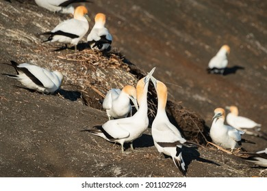 Gannets grooming and clacking of beaks at Muriwai Gannet Colony, Auckland, New Zealand