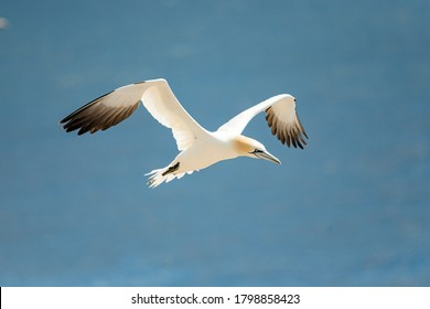Gannets are large white birds with yellowish heads; black-tipped wings; and long bills. Northern gannets are the largest seabirds in the North Atlantic, having a wingspan of up to 2 m (6.6 ft)