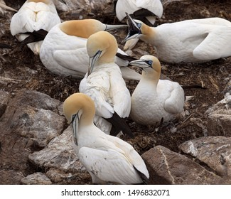 Gannets nest by the thousands on Bird Rock at Cape St. Mary's Newfoundland