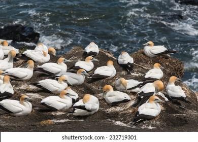 gannets nesting on cliffs