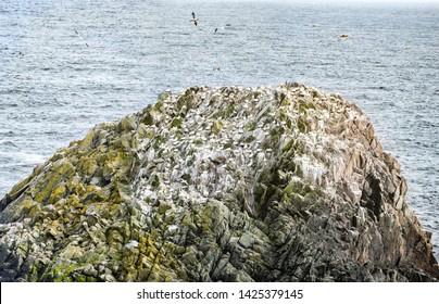 Gannets on rock in Saltee Islands. Ireland.
