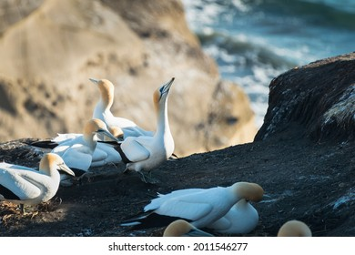 Gannets resting and clacking of beaks at Muriwai Gannet Colony, Auckland, New Zealand