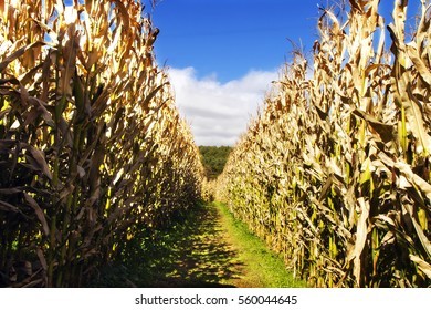 A gap in a cornfield leading to the entrance of a corn maze in Linville, North Carolina
