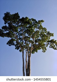 Garapa Amazonian tree in Brazil