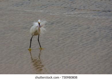 Garca branca pequena - Snowy Egret (Egretta thula) pesacando