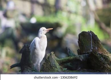 Garca-boieira aka Garça, Bubulcus ibis, Portugal