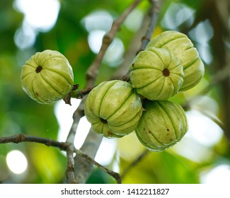 garcinia cambogia dartmouth ns