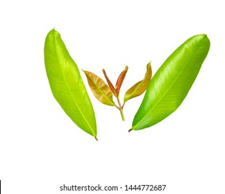 Garcinia Images, Stock Photos & Vectors | Shutterstock